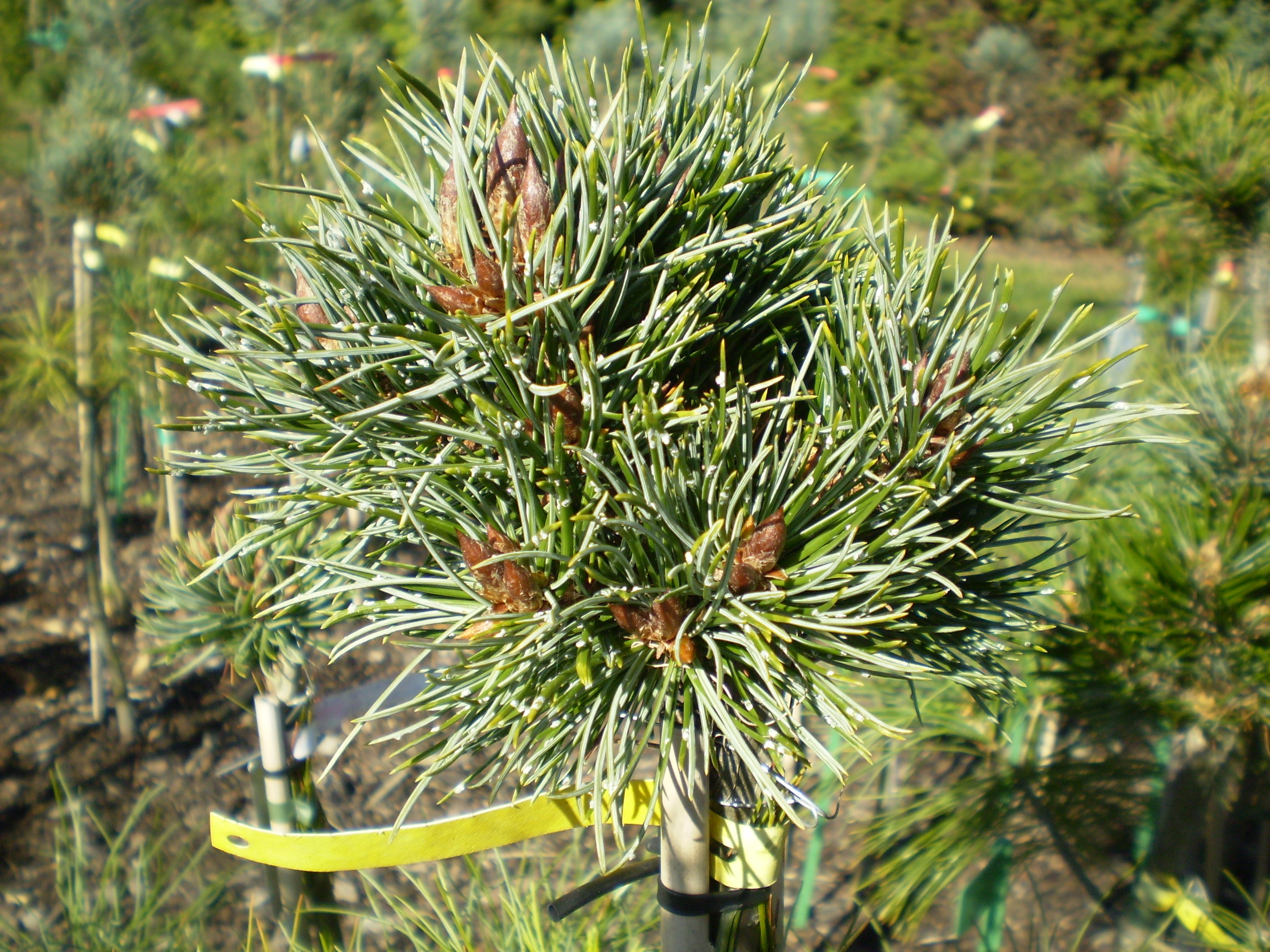 Pinus Aristata Colorado(detail)